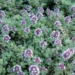 thymus longiflorus ssp ciliatus plantes r sistantes au plein soleil pinterest plein soleil. Black Bedroom Furniture Sets. Home Design Ideas