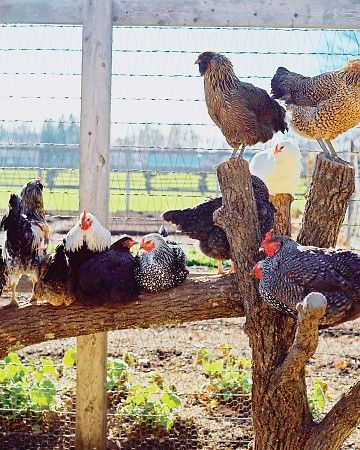 Great DIY Roost for your chicken run.