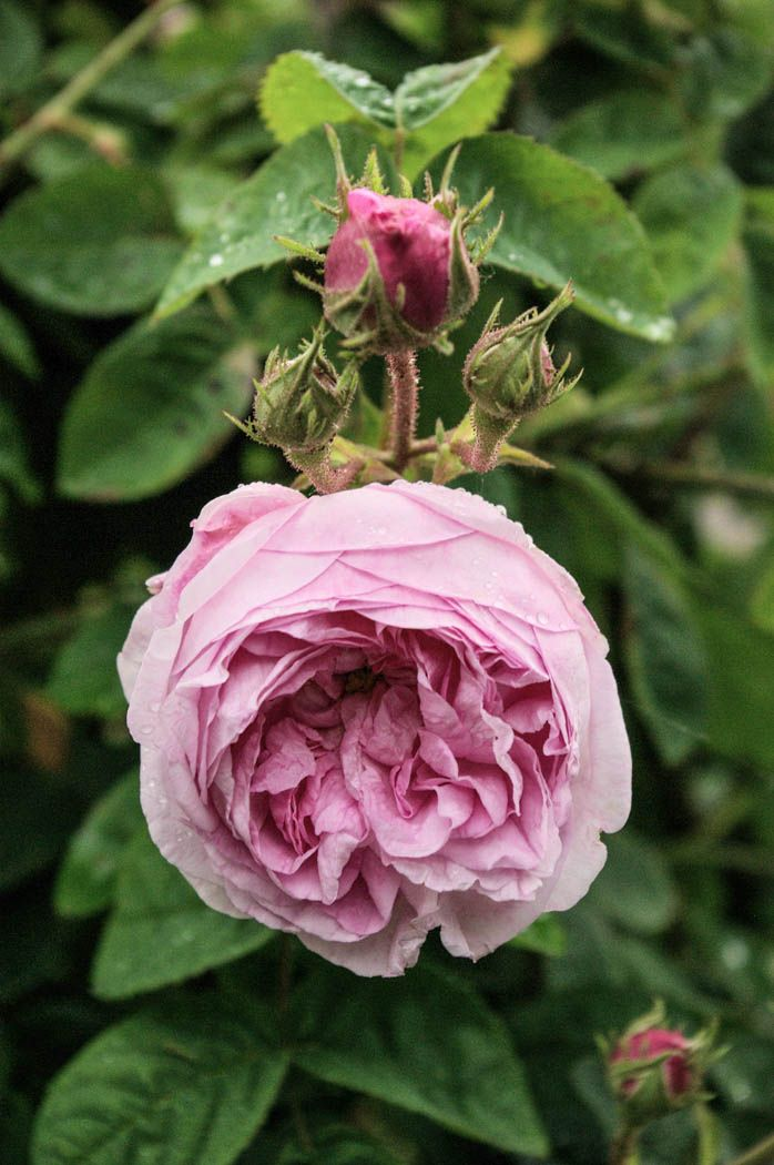 Moss Rose: Rosa 'Zenobia' (U.K., 1892)  i like Moos-Rose...so beautiful !