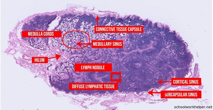 labeled diagram of the esophagus labeled diagram of alveoli lymph node slide labelled histology online homework #13