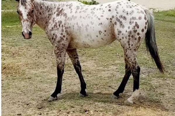 Hi there,        I am listing my two year old registered Appaloosa filly. Her registered name is Tax Lady, we like to be kind and call her Iris. She was born in Oklahoma, from the Rocking M Ranch. This filly has such a great mind on her.