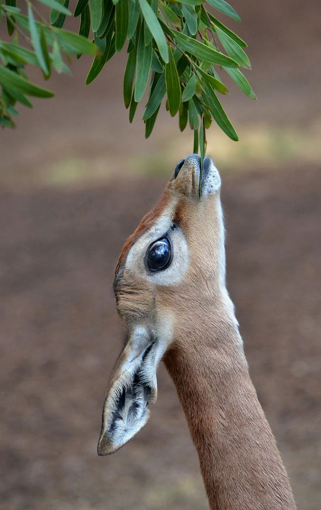 Gerenuk by Stinkersmell - Ion Moe. A Near Threatened antelope native to Somalia and East Africa.