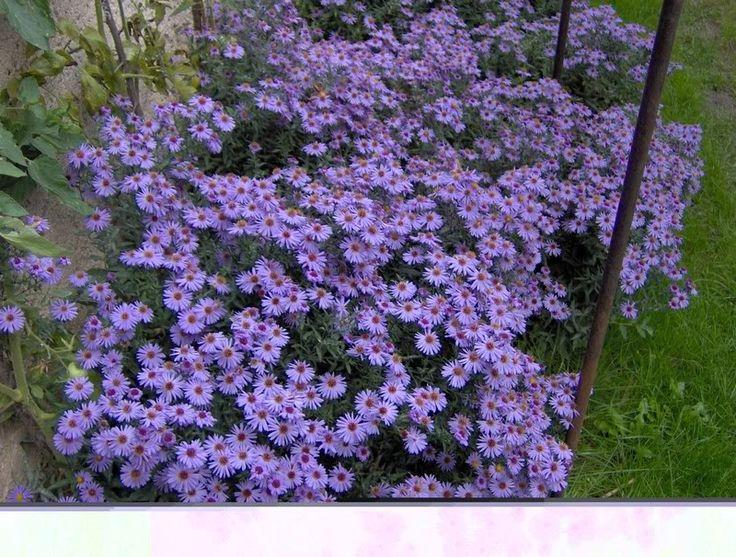 1000 idee su fiori autunnali su pinterest fiori per - Settembrini fiori ...