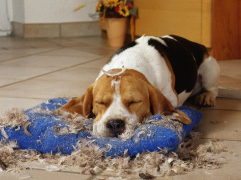 He wore himself out, getting into trouble!! Beagles love to chew things up.