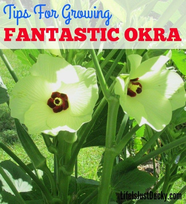 Gardening Tips For Growing Fantastic Okra - Growing okra is simple once you know a few basics. Once you know the healthy okra benefits and how easy it is to grow in your garden you will want it in yours. Okra is used in so many recipes from pickled okra to gumbo and even stuffed okra flower.