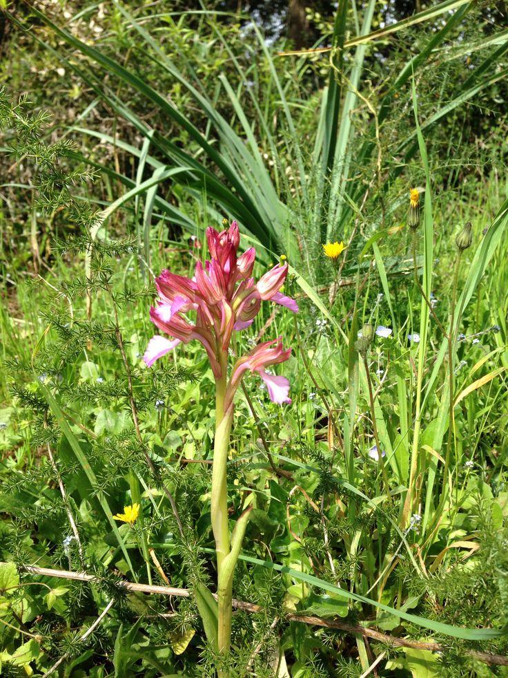 orchidee sauvage corse