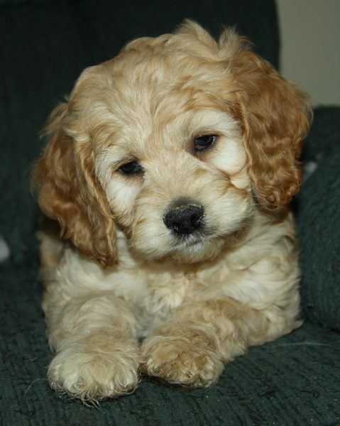 Incredibly cute cockapoo