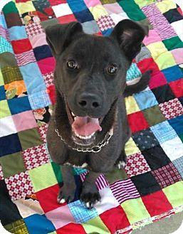 Vernon, BC - Labrador Retriever/Husky Mix. Meet Keida, a dog for adoption. http://www.adoptapet.com/pet/18773331-vernon-british-columbia-labrador-retriever-mix