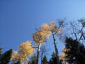 Rawhide Trail golden aspens