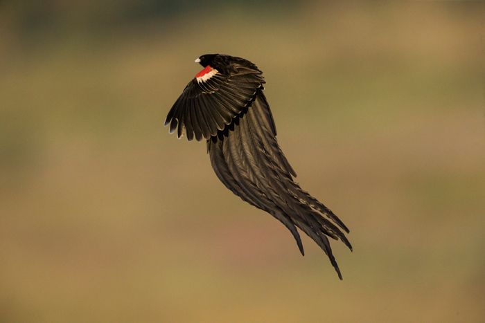 """The long-tailed widowbird, also known as the """"Sakabula,"""" is a species of bird in the Ploceidae family Long-tailed widowbird ©Isak Pretorius (scheduled via http://www.tailwindapp.com?utm_source=pinterest&utm_medium=twpin&utm_content=post20586678&utm_campaign=scheduler_attribution)"""