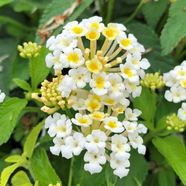 Bandana White Lantana Plants For Sale Free Shipping In 2020 Lantana Plant Plants Lantana