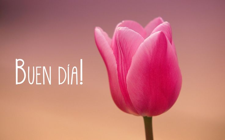 Buen día, beauty tulip!
