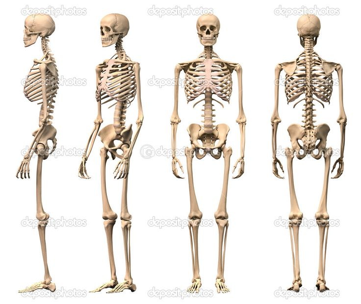 22 best male skeleton images on pinterest | human anatomy, anatomy, Skeleton