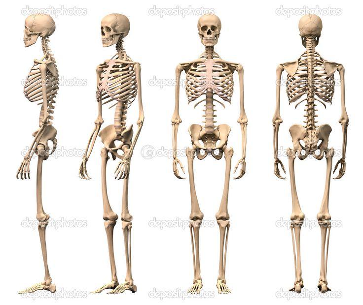 22 best images about male skeleton on pinterest | free, Skeleton