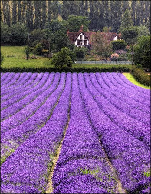 Lavender Rows - that would be beautiful to see every morning for whoever lives…