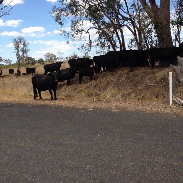 Cows on Booralong Rd, Dumaresq. Interrupted our ride.