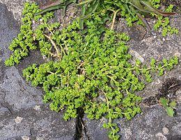 Herniaria glabra 2005.06.12 14.50.22.jpg