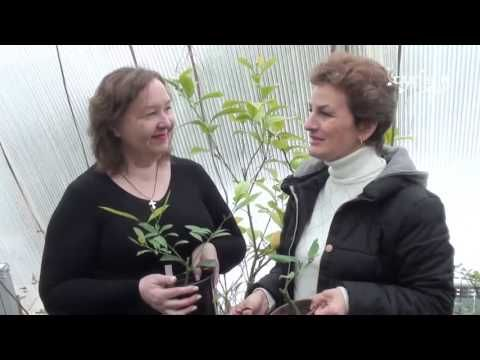 """Как вырастить лимон дома От черенка до плодов. Сайт """"Садовый мир"""" - YouTube"""