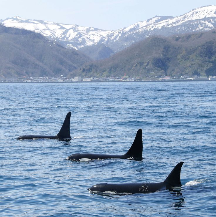 A pod of killer whales swim in waters off Rausu on the Shiretoko Peninsula, Hokkaido, on Thursday.  The mountain range in the background is a world natural heritage site.