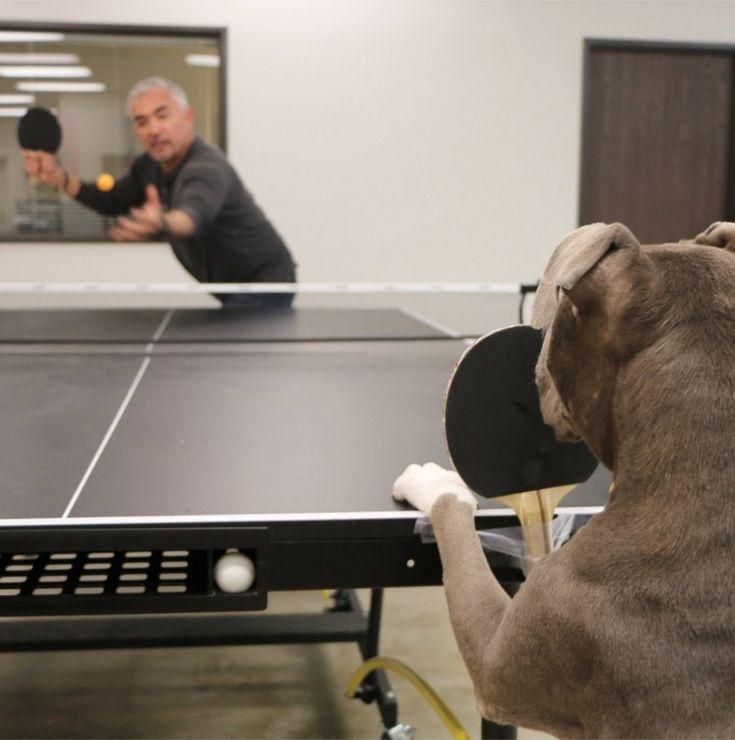 La simpática foto de César Millán jugando al ping pong con su perro #cesarmillan #encantadordeperros #perro #perros #dog #dogs #animales #animal #mascota #mascotas #pitbull #þitbulls #foto #fotos #schnauzi