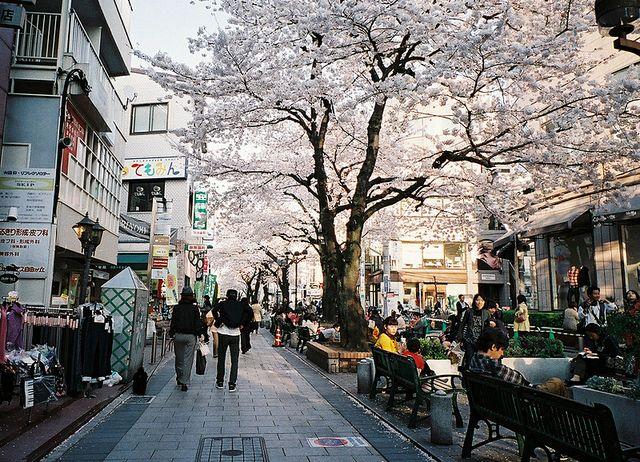 ✚ Photography by Hiki #asia #japan #streets #cherry #blossom #sakura #spring #flowers #travel #amasian #amasia
