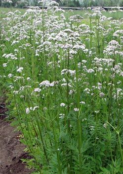Valeriana officinalis - Garden Heliotrope