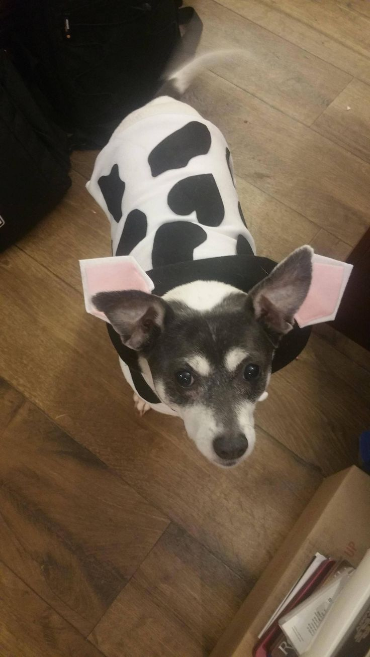 First sewing project a cow costume for my dog #sewing #crafts #handmade #quilting #fabric #vintage #DIY #craft #knitting