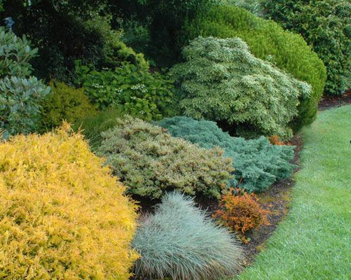 There are no flowers here, and these colors are always on display.  The soft golden foliage of Thuja occ. 'Rheingold' looks great against the blue fescue grass.  Other colors are contributed by Azalea 'Silver Sword', Calluna v. 'Boscoop', The Blue Star Juniper, Pieris jap. 'Variegata', and Pinus strobus 'Compacta'. Very little pruning, if any has been done here, and the maintenance is minimal.
