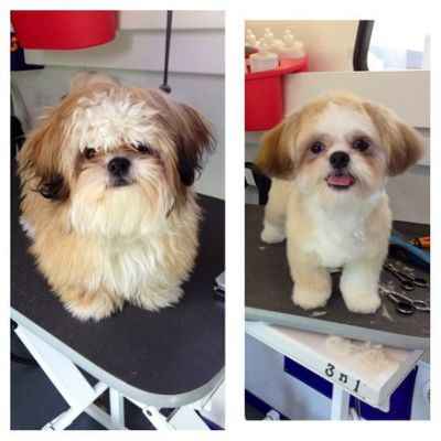 Haircuts For Shih Tzu Poo | hairstylegalleries.com