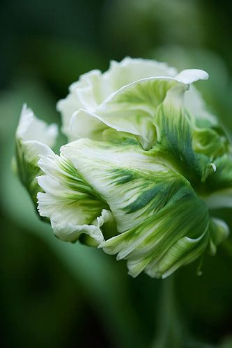 Frivolous Fabulous - Beautiful Parrot Tulips for Miss Frivolous Fabulous