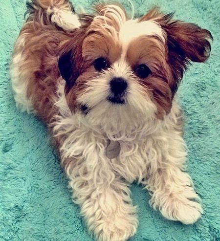 shih tzu mix for sale 25 best ideas about shih tzu maltese mix on pinterest 1177
