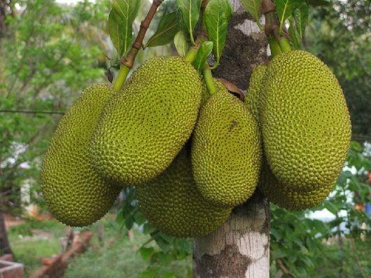 Pregon Agropecuario :: Yaca: panapén o fruta de pan - Frutihortícola - Fruticultura