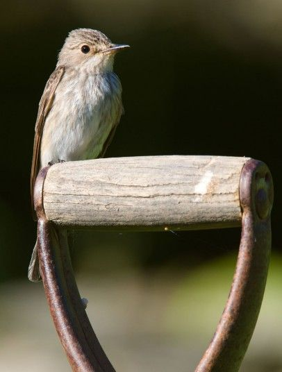 A spotted flycatcher perches on a fork handle in a garden near Corwen, North Wales