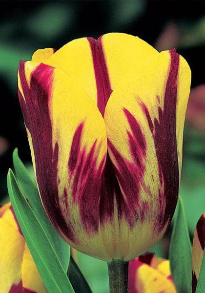 Tulipa 39 helmar 39 mid season tulip tulips pinterest for What season are tulips