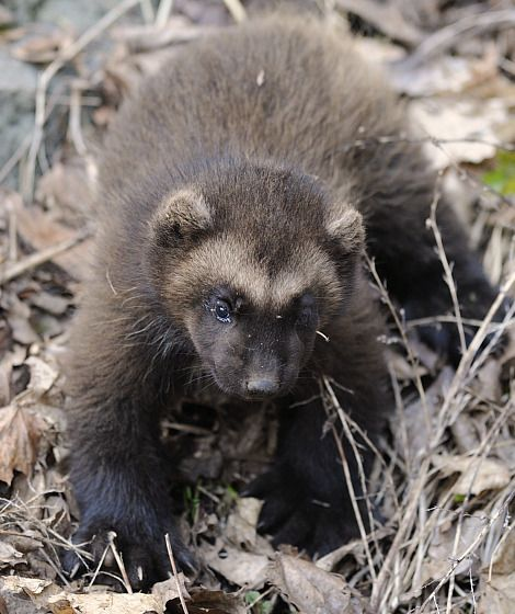 wolverine cub  Photo and video credits: Skansen