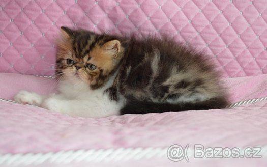 Perzische kittens met - 1