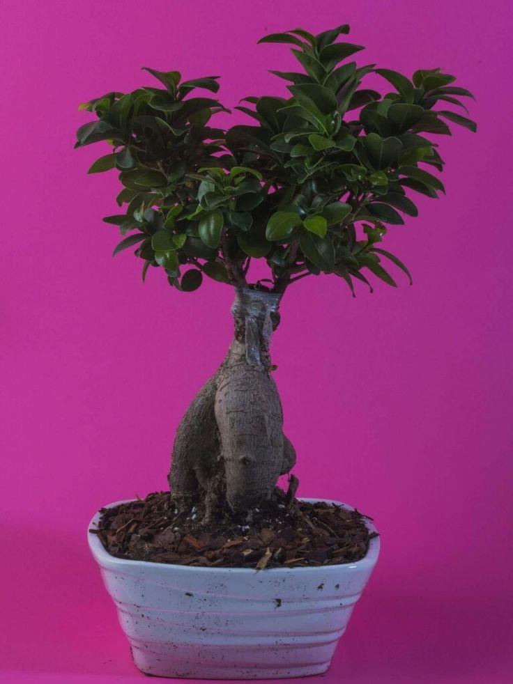 #Bonsai Ficus Ginseng #paganopiante. Un piccolo grande albero, ricco di storia e di magia