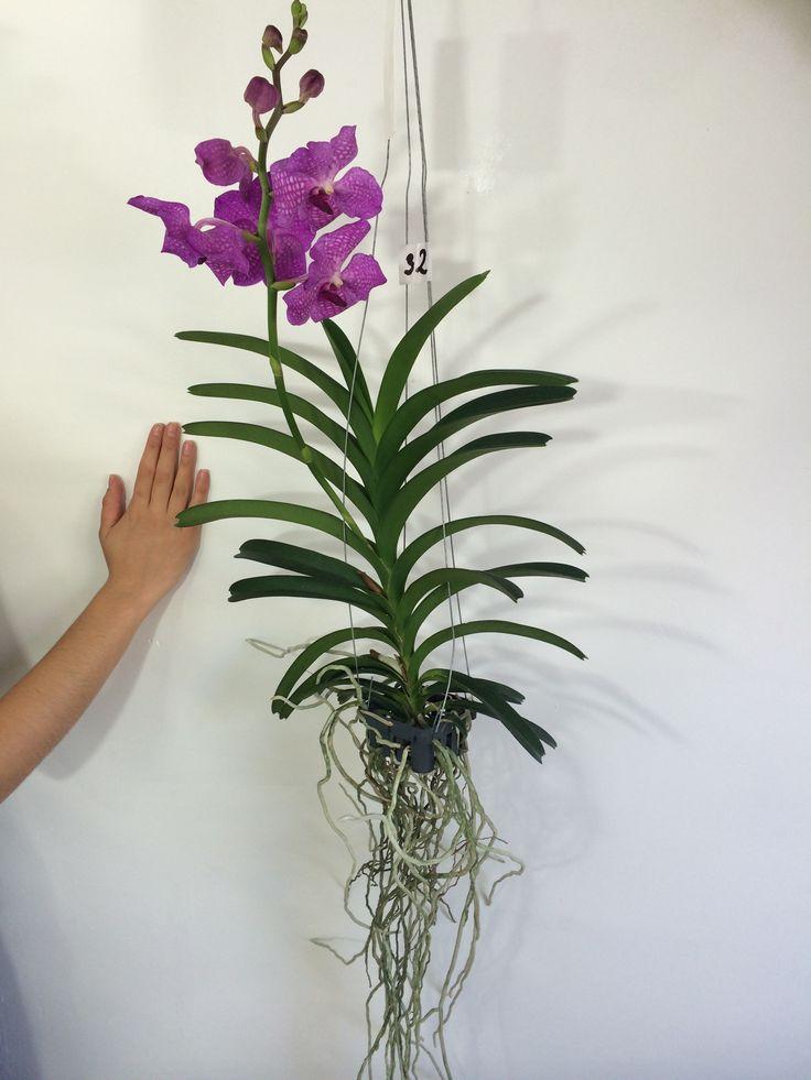 orchid e orchid orchideen orquidea vanda for sale on www. Black Bedroom Furniture Sets. Home Design Ideas