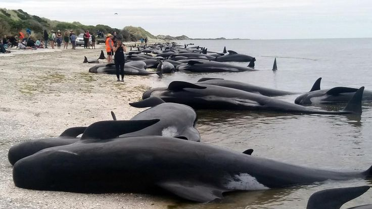 Beware exploding whales: New Zealand issues warning after mass stranding | Fox News
