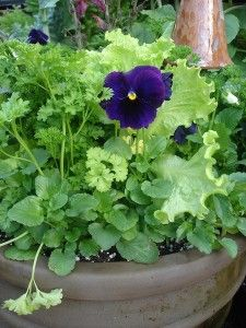 Plant lettuce in containers alone or mixed with flowers and herbs.