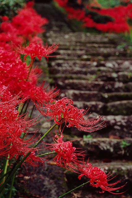 """Lycoris radiata (red spider lily) I grew up calling these """"naked ladies """""""
