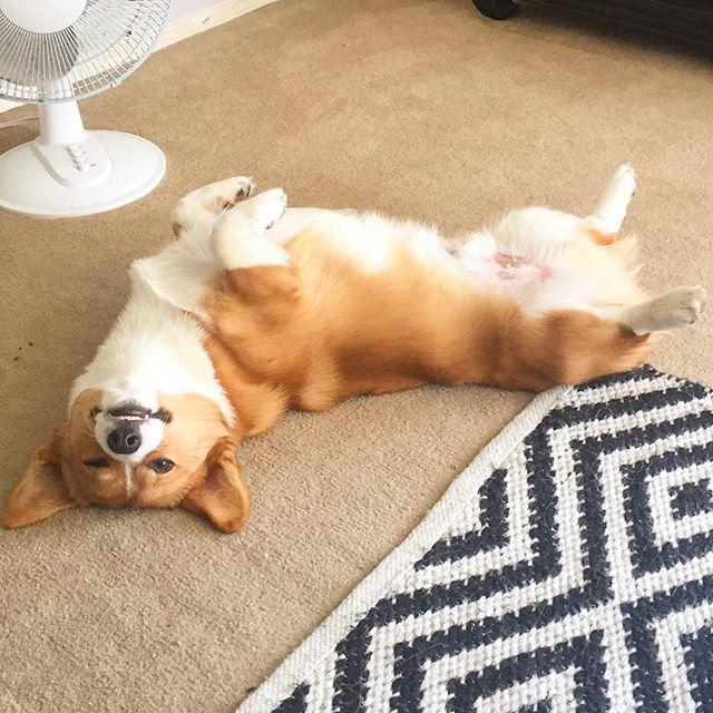 Just another derpy Saturday  #corgi #corgisofinstagram #corgistagram #corgination #corgicommunity #corgilove #corgipuppy #corgiaddict #puppy #puppiesofinstagram #instapuppy #puppiesxdogs #corgiworld_feature #derp #dogsofinstagram #puppysketch #sploot #dog_features #petstagram #dogstagram #コーギー #かわいい #犬 #愛犬 #犬バカ部 #코기 #귀여워 #멍스타그램 #강아지