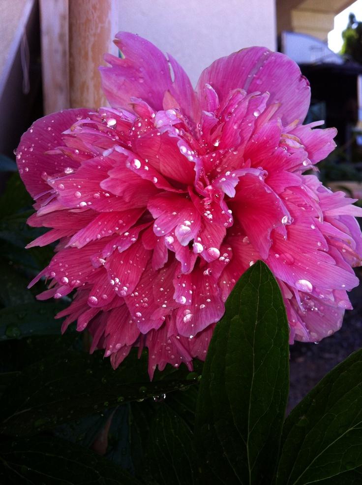 Pianese flower