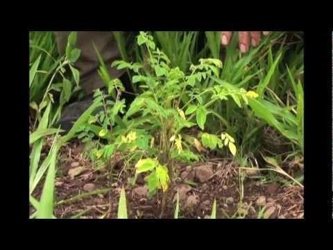 Moringa Documentary - YouTube