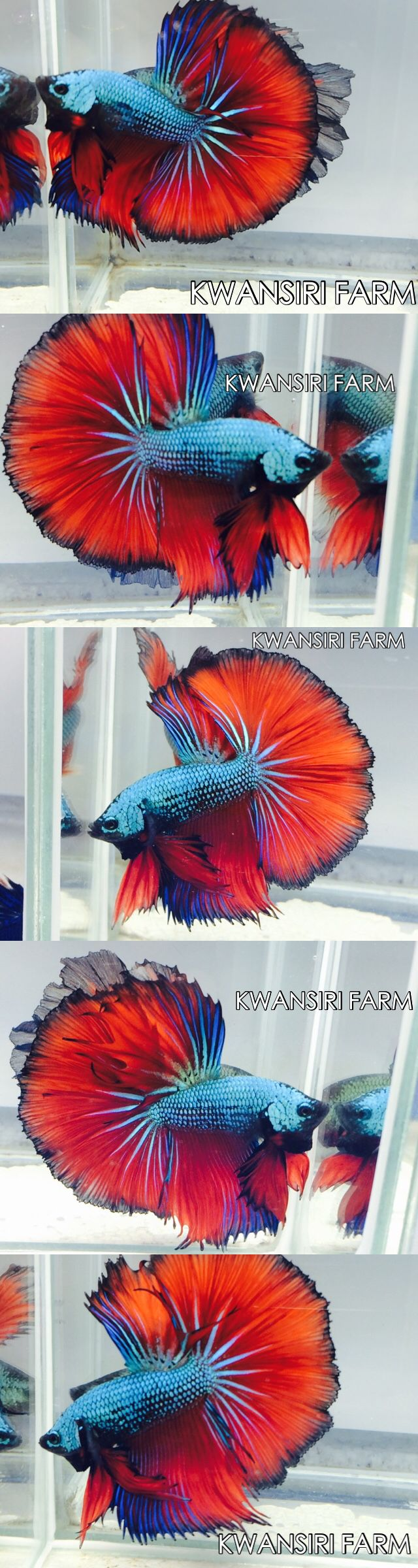 49 best Betta Dreams images on Pinterest | Fish aquariums, Betta and ...