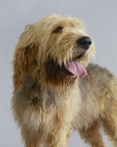 Credit: Dan Burn-Forti for the Observer Otterhound (42 pups registered last year)