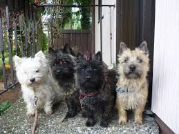 vintage cairn terrier photography - Google Search