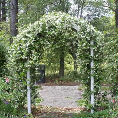 Confederate Jasmine Vine ~ I want to put an arbor like this to block the neighbor's shed in the back.
