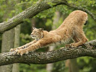Imagenes - FONDITOS: Estiramiento - Animales, Leopardo