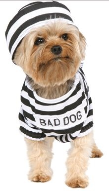 Should Baxter be the little criminal he is for Halloween?! Yorkie Love <3
